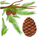 Pinecone on the branch Royalty Free Stock Photo