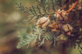 Pinecone buds on a branch Royalty Free Stock Photo