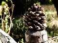 Pinecone of a tree Royalty Free Stock Photo