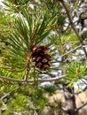 Pinecone in a tree Royalty Free Stock Photo