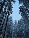 Pinery cold snowy winter quiet forest Stock Photos