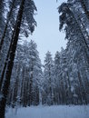 Pinery cold snowy winter quiet forest Stock Images