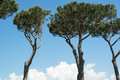 Pines in a beautiful garden in bolgheri tuscany italy Royalty Free Stock Photo