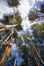 Pines in the clouds this is image of a Royalty Free Stock Image