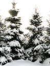 Pines Covered With Snow Royalty Free Stock Photo
