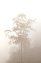 Pines in the fog hazy morning air high mountains of northern thailand Royalty Free Stock Photography