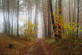 Pines in the forest with misty morning Royalty Free Stock Photo