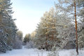Pines hoarfrost covered in winter forest Stock Images