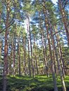 Pines for masts forest with long and straight pine trees Stock Photos