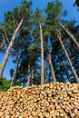 Pines and pile of wood logs Royalty Free Stock Photo