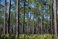 Pines and Saw Palmettos Royalty Free Stock Photo