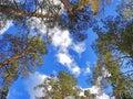 Pines... The sky... Royalty Free Stock Photos
