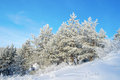 Pines snow covered on the hill Royalty Free Stock Image