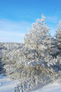 Pines snow covered on the mountain Royalty Free Stock Photography