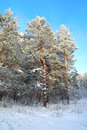 Pines snow covered in winter forest Royalty Free Stock Photography