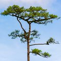 Pines tree in rain forest Royalty Free Stock Image