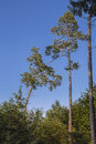 Pines two topping the forest Stock Photo