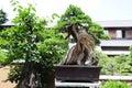 Pinetree Bonsai