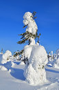 Pinetree snowy covered snow after storm Royalty Free Stock Photo