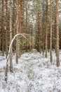 Pinewood winter scene with long path Stock Images