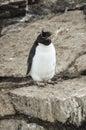 Pingüino de rockhopper en la roca Foto de archivo
