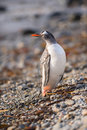 Pingouin de gentoo la géorgie du sud antarctique Photo libre de droits