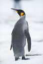 Pingouin de roi la géorgie du sud antarctique Photo libre de droits