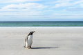 Pinguim de gentoo na costa Imagem de Stock Royalty Free