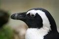 Pinguino in bianco e nero Immagine Stock Libera da Diritti