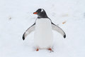 Pingvivn gentoo which is worth its wings outspread young Royalty Free Stock Image
