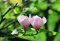 Pink abloom pair of magnolia flower Royalty Free Stock Photo
