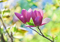 Pink abloom pair of magnolia flower with beautiful bokeh Stock Images