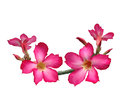Pink adenium flowers pinkadenium isolate on white back ground Royalty Free Stock Photo