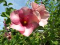 Pink alamanda flowers Royalty Free Stock Photo