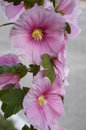 Pink alcea rosea althaea rosea or hollyhock turkey this plant has big beatiful flower and can easily reach a height at about feet Royalty Free Stock Photography