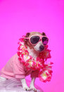 Pink Aloha Holiday Dog Stock Photography