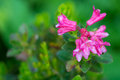Pink alp flowers hairy alpine rose flower on green Royalty Free Stock Images