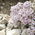 Pink alpine plants in a stoned background detail macro photography Royalty Free Stock Images