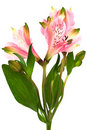 Pink alstroemeria Stock Images