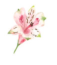 Pink alstromeria watercolor image of flower of Stock Photography