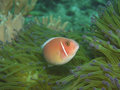 Pink anemone fish Stock Photo