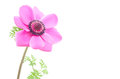 Pink anemone flower Royalty Free Stock Photography