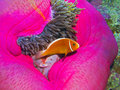 Pink Anemonefish, Great Barrier Reef, Australia Royalty Free Stock Photo