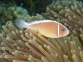 Pink anemonefish molucca sea Royalty Free Stock Photography