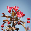 Pink apple flowers in bloom. Spring. Aged photo. Royalty Free Stock Photo