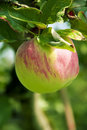 Pink Apple on the tree, close up, shallow focus Stock Images