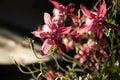 Pink Aquilegia Flowers