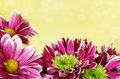 Pink aster flowers frame on beige bokeh background Royalty Free Stock Image