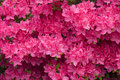 Pink azalea flowers Royalty Free Stock Photography