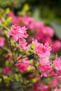 The of pink azalea flowers Royalty Free Stock Photography